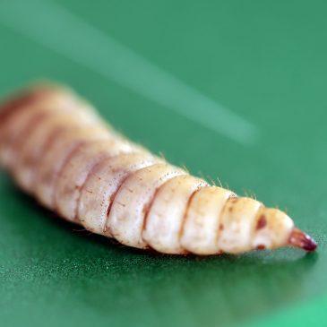 Kan produksjon av insektlarver løse fôrkrisen.